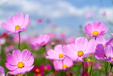 Pink cosmos field and sky Stock Photo - 9023390