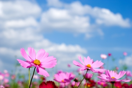 Roze cosmos veld en sky
