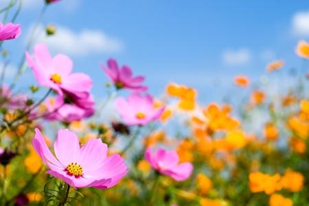 flowery: Cielo y campo de cosmos de dos colores