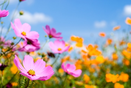 meadow: Two colors cosmos field and sky Stock Photo
