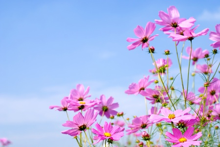 Pink cosmos field and sky photo