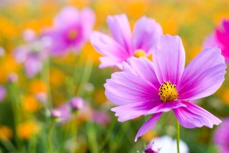 ピンクのコスモスの花のフィールドに