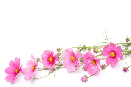 Pink cosmos on a white background