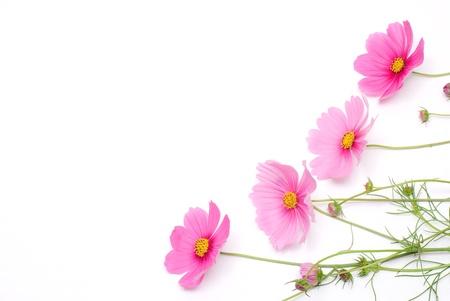 白地にピンクのコスモス