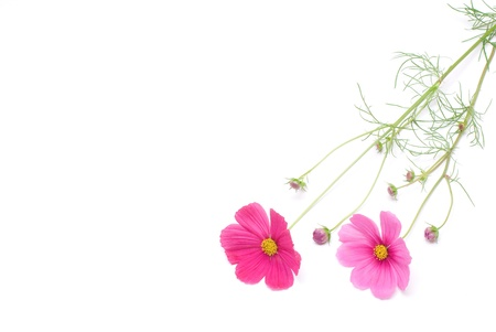 cut flowers: Pink cosmos on a white background