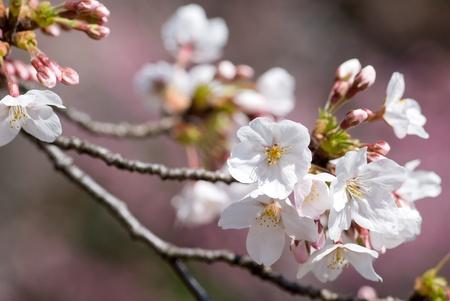 cerezos en flor: Flores de pleno florecimiento de las flores de cerezo de Yoshino