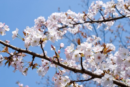 Full bloom flowers of the Wild Cherry blossoms photo