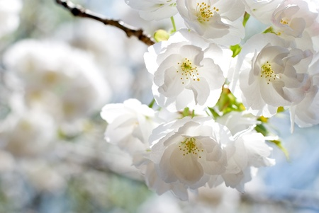 Full bloom flowers of the Double Cherry blossoms photo