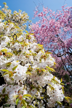 in full bloom: Full bloom flowers of the Drooping wild cherry