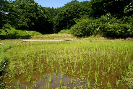 Rice seedlings near the woodlands from contry of Tokyo Japan Stock Photo - 9023576