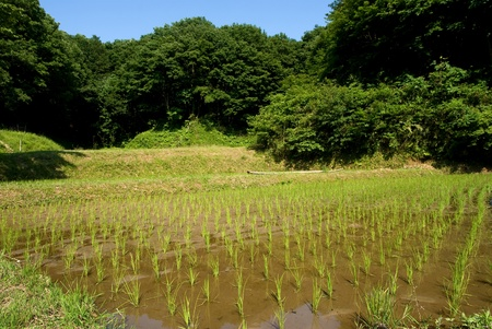 Rice seedlings near the woodlands from contry of Tokyo Japan Stock Photo - 9023575