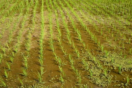Rice seedlings from contry of Tokyo Japan Stock Photo - 9023577