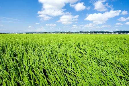 Green rice fields in summner from Kanagawa Japan Stock Photo - 9023570