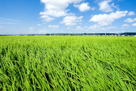 kanagawa: Green rice fields in summner from Kanagawa Japan Stock Photo