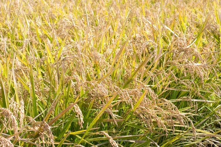 kanagawa: Harvest season of the Rice field from Kanagawa Japan