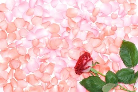 バラの花と花びら背景中