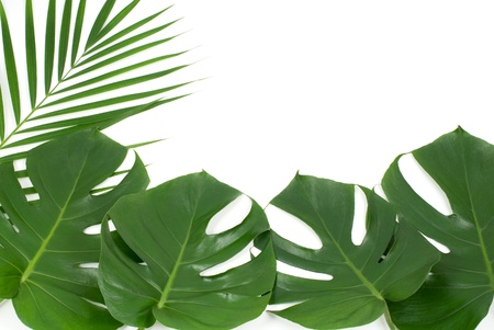 Tropical leaves of Ceriman and Dypsis