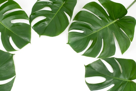 세리 만 잎의 열대 식물