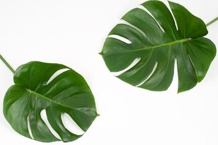 Tropical plants of Ceriman leaves