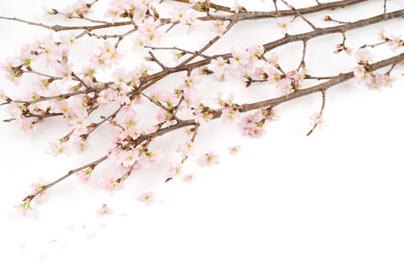 winter cherry: Cherry blossoms named Keiou-Sakura blooming in winter(early spring) season