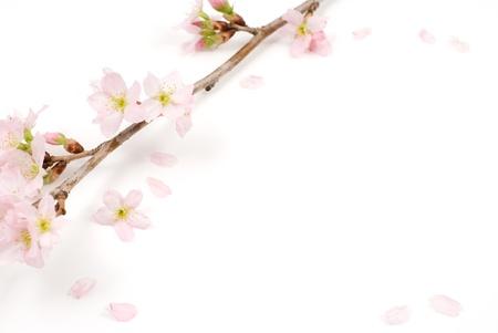 桜の花は冬 (早いばね) 季節に咲く「京さくら」という名前