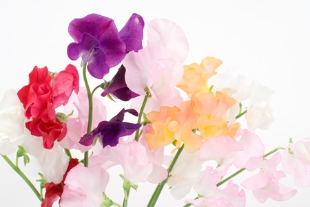 Sweet pea on a white background