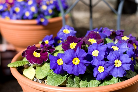 polyanthus: Potted vioet flower of the primula polyantha Stock Photo