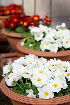Potted white flower of the primula polyantha photo