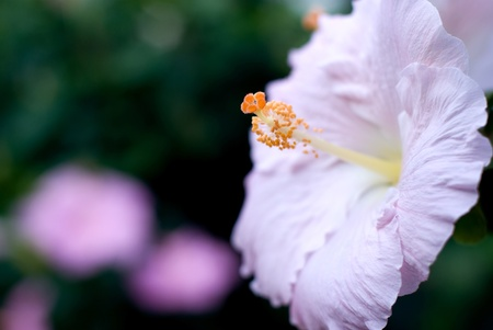 Pink color of the Chinese hibiscus flower photo