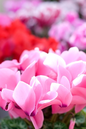 Full blooming winter flower of Cyclamen photo