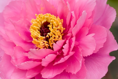 blossoming yellow flower tree: Close up of pink tree peony Stock Photo