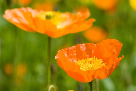 Iceland poppy in flower garden photo