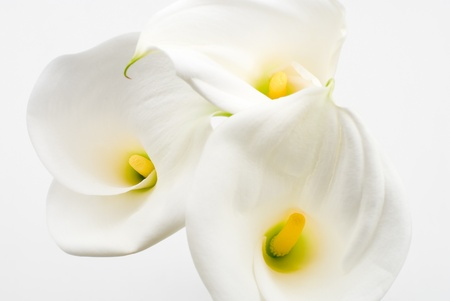 Calla lily on a white background photo
