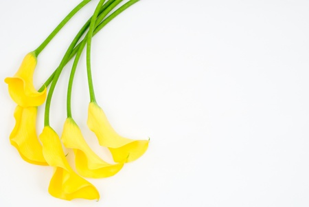 Yellow calla lily on a white background