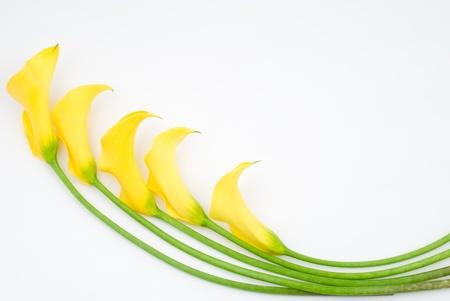 fleur arum: Jaune calla lily sur un fond blanc