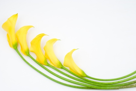 arum: Yellow calla lily on a white background
