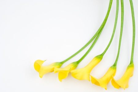 arum flower: Yellow calla lily on a white background