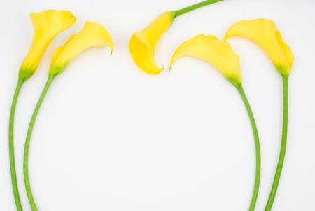 Yellow calla lily on a white background photo