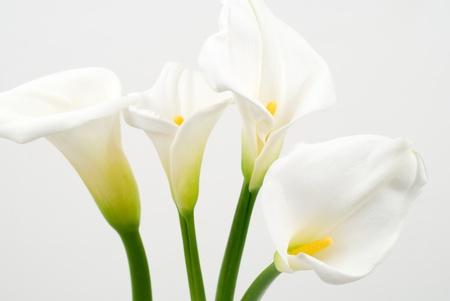 fleur arum: Calla lily sur un fond blanc
