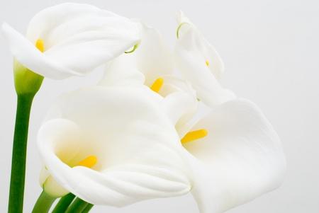 fleur arum: Calla Lily sur un fond blanc Banque d'images