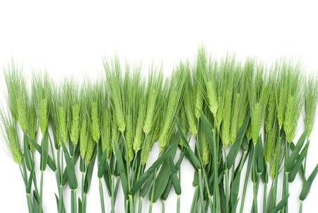 cebada: Seis fila cebada en un fondo blanco