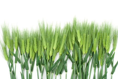 cut grass: Six row barley on a white background