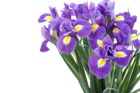 purple iris: Dutch iris on a white background Stock Photo
