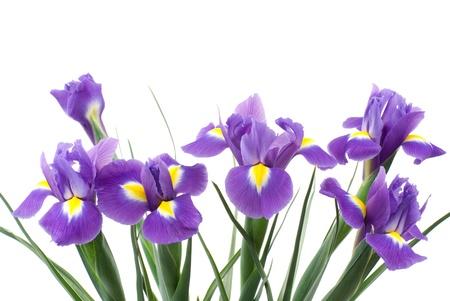 Dutch iris on a white background 스톡 콘텐츠