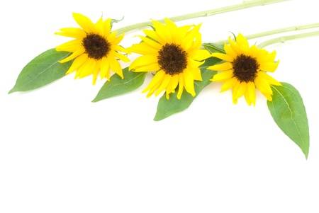 Sunflower on a white background photo