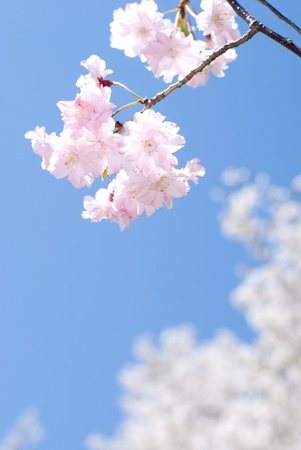 Close up of weeping double cherry in the blue sky photo