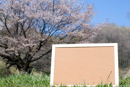 Cork board on a blossoming wild cherry background photo