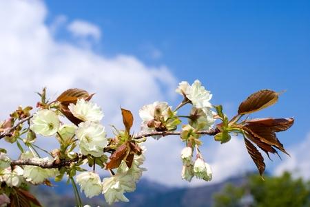 Pale yellow double cherry blossoms named Ukonzakura(Turmeric cherry) photo