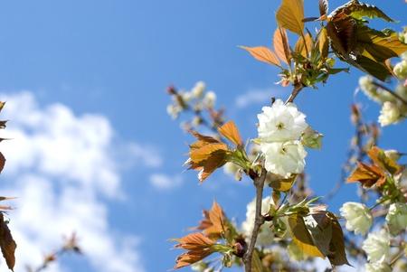 Pale yellow double cherry blossoms in the sky named Ukonzakura(Turmeric cherry) photo