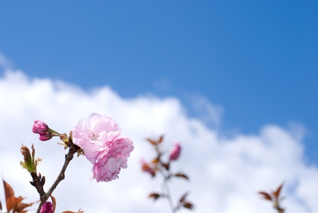 Pink double cherry blossoms named Kanzan photo